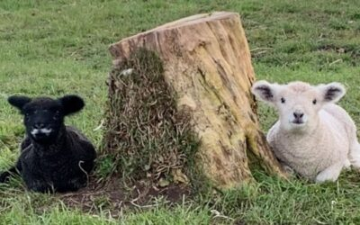 Spring lamb at the Hive – Boo and Biscuit